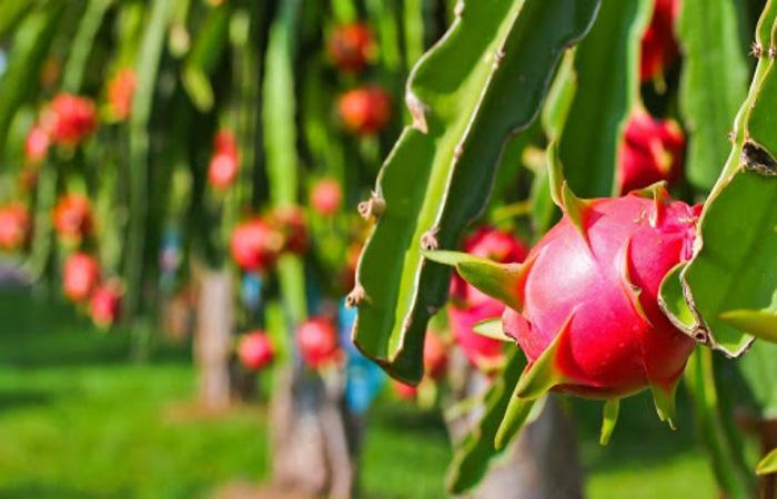 Thanh long là loại nông sản nổi tiếng