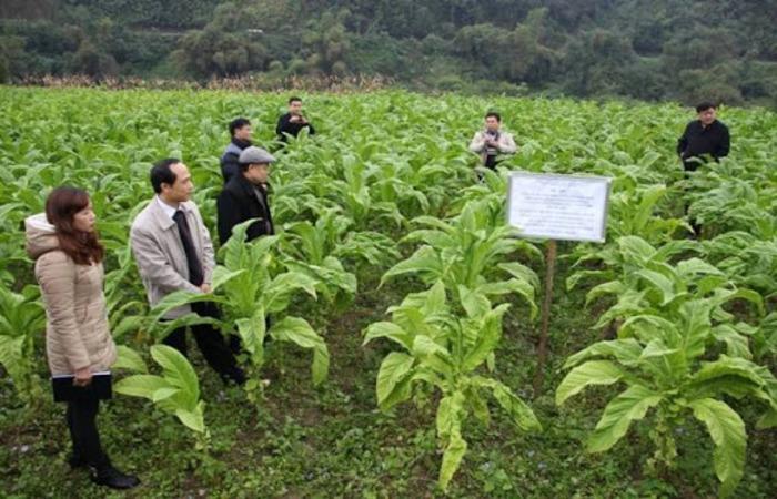 Việc gieo trồng cây thuốc lá tại Bình Thuận